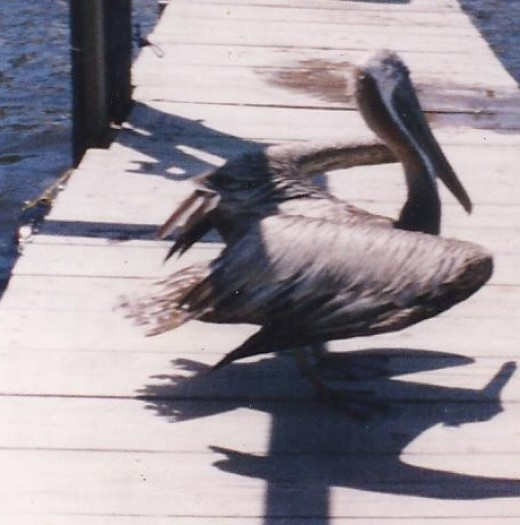 Yellow headed Older Brown Pelican
