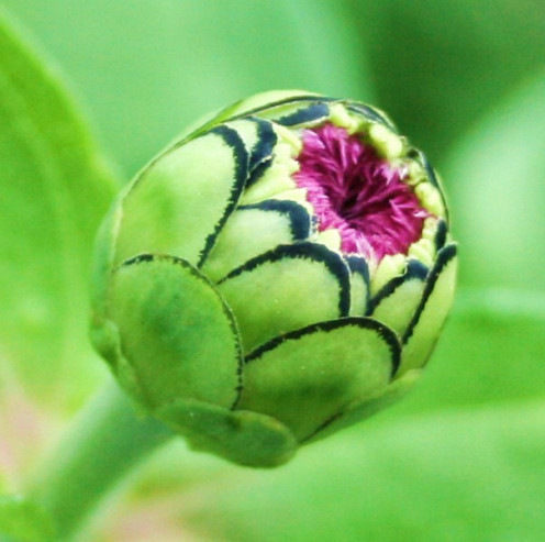 Zinnia flower bud are almost as pretty as the flowers!