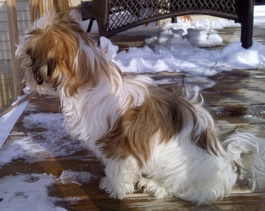 Malshi Dogs have Long, Warm Fur