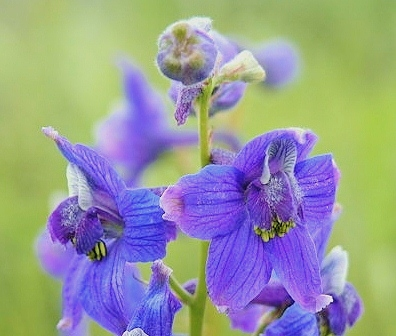 Larkspur grows as a wildflower in many parts of the Continental USA.