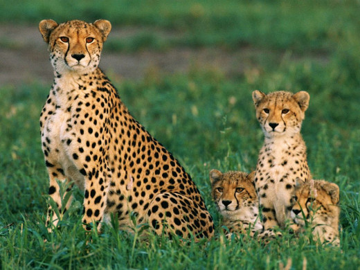 Cheetahs can run as fast as 60 miles in three seconds! These extravagant felines can last without water for four days!