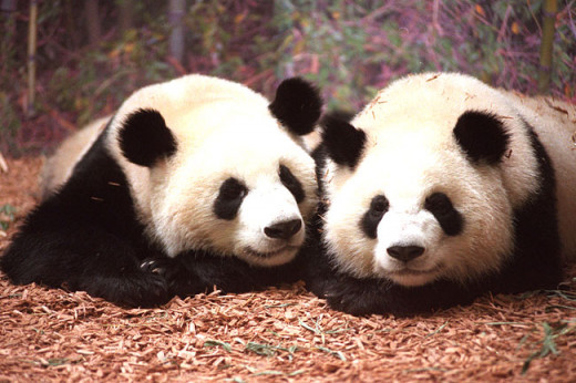 The Giant Panda (Ailuropoda Melanoleuca) are restricted to a narrow 1,600 in the wild. According to china you can only be loaned a panda making enormous payments every year.