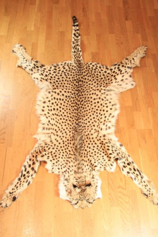 Cheetah and Leopard pelts can go for $600 in the black market.