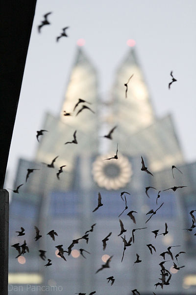 Bats in flight at the Congress Avenue Bridge
