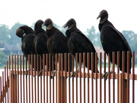A group of American black vultures perched on metal railings.  These birds are gregarious and love to roost in big groups.  They also love to feed as a group and will attempt to drive away more solitary animals, such as turkey vultures, if they can.