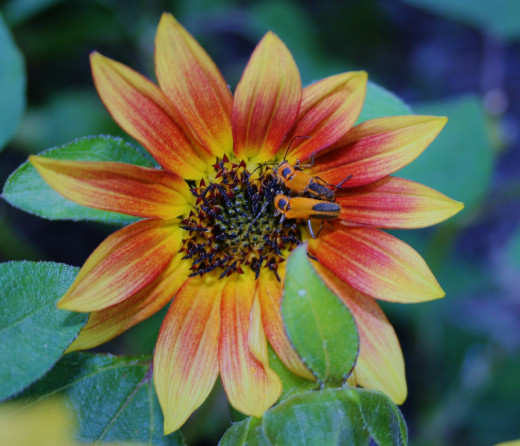 Sunflowers have big flower heads in shades of red, orange, yellow, brown and even pink!