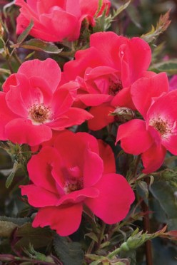 Knockout Roses: Overrated or Garden Superstars?