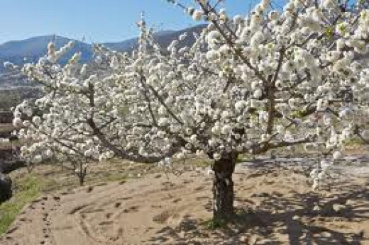 A cherry tree in the Val de Galina Spain