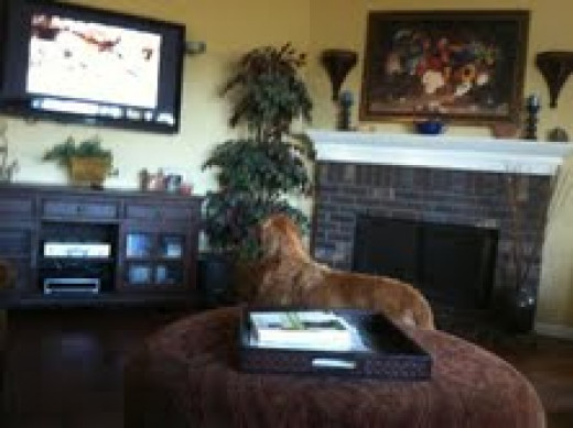 Zeus takes a break from playing to enjoy Dog TV!