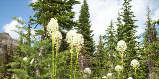 Bear Grass - Xerophyllum Tenax  aka  Turkey Grass