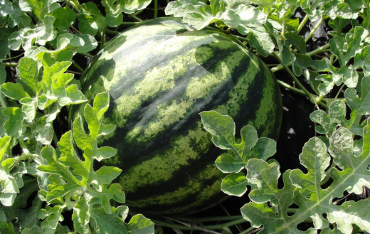 Melons can be moved around wherever you like from year to year.