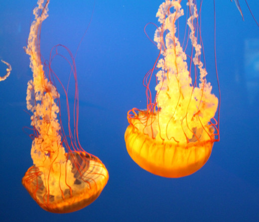 Jellyfish in aquarium.