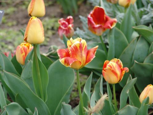 Tulip - Denver Botanical Gardens