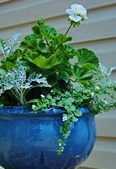 Creating stacked pots gives a simple white Martha Washington geranium the height it needs to take centerstage.