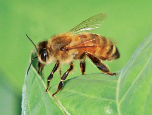Honey Bees are very busy insects