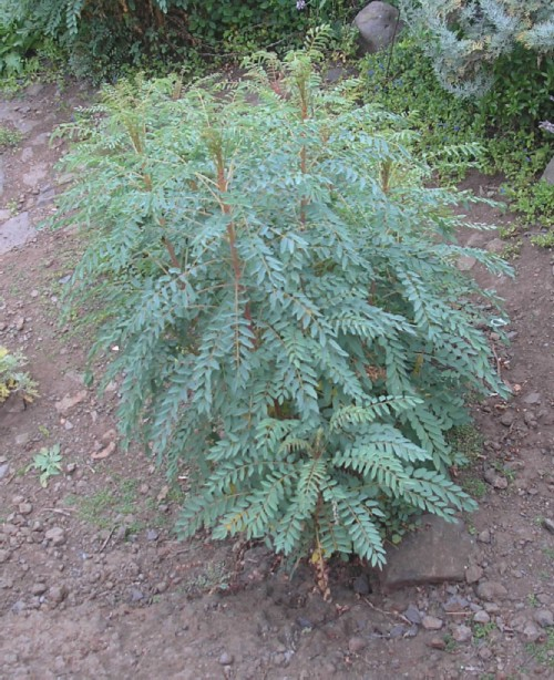 Stick of Blood - a rare endemic shrub