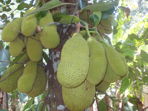 The jack fruit tree in my backyard.