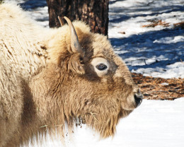 Portrait of an American White Bison