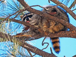 Playful Raccoon in a tall Pine tree
