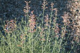 Southwestern Plumbago, Hummingbird Garden,