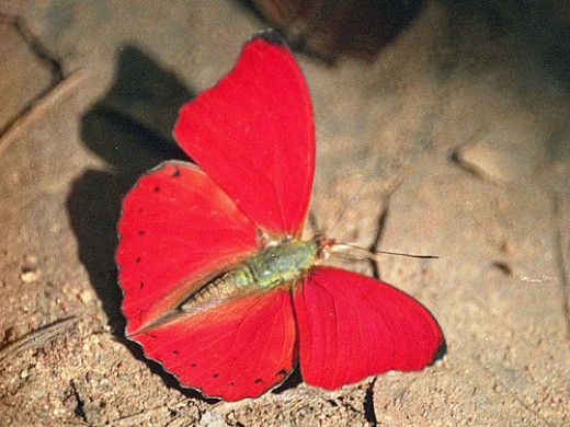 Red Butterfly or Red Glider