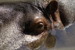 Hippo eye.