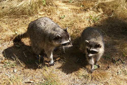 City raccoons are spotted most commonly at night.