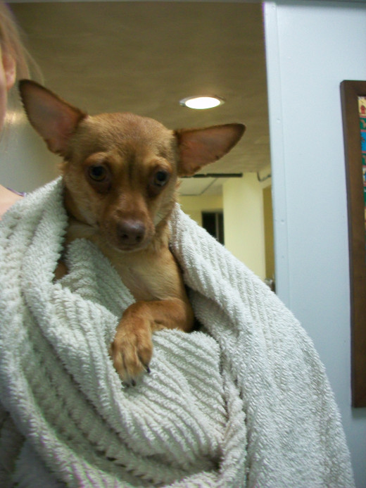 Maude the Chihuahua cuddles up in a towel after her bath