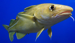 Northern Cold Water Fish: Cod and Hake