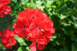 Winterizing Geraniums