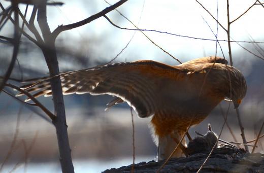 Red-shouldered Hawk Mantling His Mouse
