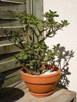 The Enchanting Jade Plant