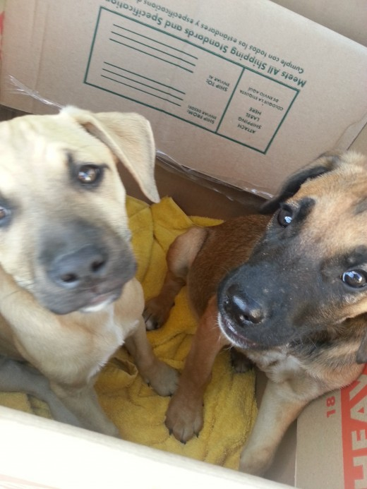 Two puppies in a box! Fleeing deplorable backyard breeding conditions.