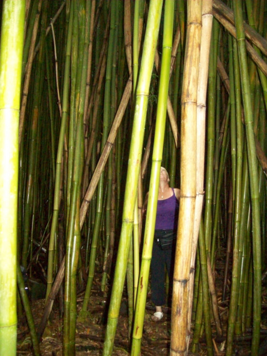 green bamboo 'forest'  in Haleakala National Park, Maui