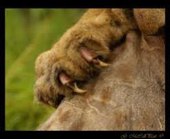 Lion claws
