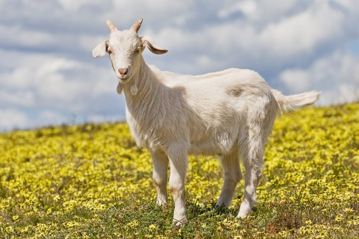 A goat was to be sacrificed on Yom Kippur