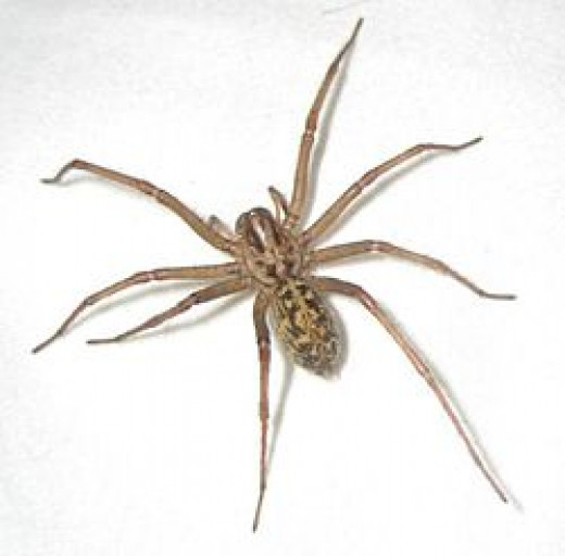 The Hobo can be confused with the ordinary brown house spider...Learn the differences!