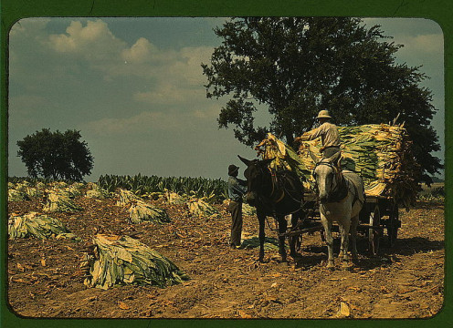 Burley Tobbaco was a successful crop in Kentucky and Southern Ohio.  It is honored by the Museum of Tobacco in Ripley OH in Brown County.