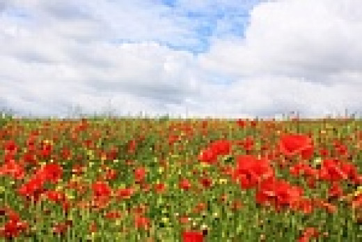 field of poppies and rape seed