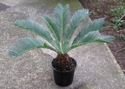 Sago Palm or Japanese Fern Palm