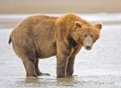 The Brown Bear is in danger of becoming extinct. These animals are always interesting to watch on Animal Planet.