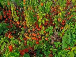 Rosary vine or Chinese lantern plant