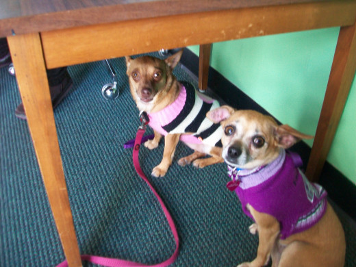 Maude and Gertie the Chihuahuas hang out under a table in the Green Room after being welcomed by the theatre department