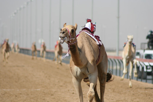 A camel with robot finishing in one of the races at the Camel Racing Festival