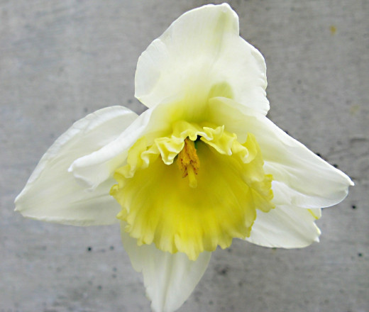"A cultivated daffodil in which the corona color has ""bled"" on to the perianth"