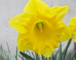 A cultivated daffodil growing in a landscaped area