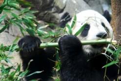 """The """"Save the Panda"""" debate"""