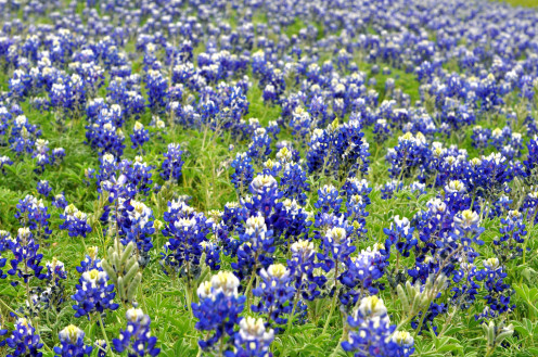 Texas Bluebonnets in Spring. - The Rolling Hills of Central Texas.
