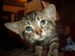 Can Cats Get AIDS?  Feline Immunodeficiency Virus. Cats and FIV!