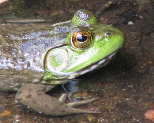 Bullfrog Croaking